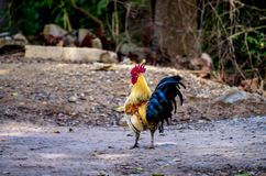 Portret bantam czerwona kogut?w zwierz?t przyroda w Tajlandia zdjęcie stock