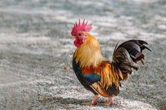 Portret bantam kurczaki zdjęcia stock