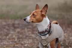 Portret Basenji pies w zimie odziewa Obrazy Royalty Free