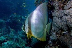 Portret batfish Fotografia Stock