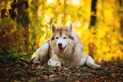 Portret beżowy siberian husky psa lying on the beach w jaskrawym spadku lesie i patrzeć kamera wspaniały i bezpłatny obrazy royalty free