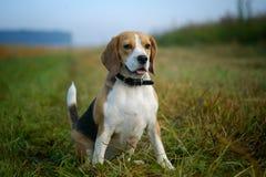 Portret Beagle na spacerze Zdjęcie Royalty Free