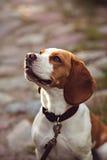 Portret beagle pies Fotografia Stock