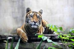 Portret Bengalia Królewski tygrys Zdjęcia Royalty Free