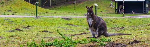 Portret Bennett wallaby pozycja w trawa paśniku, kangur od Australia fotografia royalty free