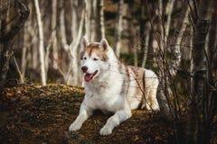 Portret bezpłatny i prideful Syberyjskiego husky pies z tonque wiszącym za lying on the beach w lesie w opóźnionej jesieni fotografia stock
