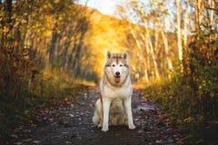 Portret bezpłatny i wspaniały Syberyjskiego husky psa obsiadanie w jaskrawym czarownym złotym spadku lesie fotografia stock