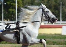 Portret białego konia kłusaka traken w ruchu na hipodromu zdjęcia royalty free