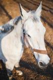 Portret biały koń z wierzchołkiem na stajence obraz stock