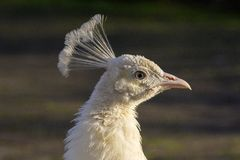 Portret biały paw który łapie słońce na swój piórkach zdjęcie stock