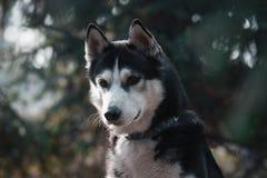 Portret biały siberian husky pies na zielonym tle zdjęcie stock