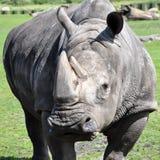 Portret biała nosorożec Zdjęcie Stock