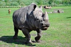 Portret biała nosorożec Zdjęcie Royalty Free