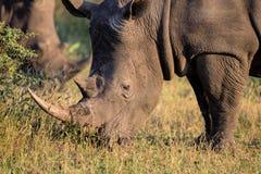 Portret Biała nosorożec w opóźnionym dnia słońcu Obraz Royalty Free