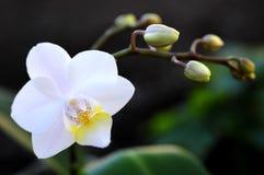 Portret biała orchidea zdjęcia royalty free