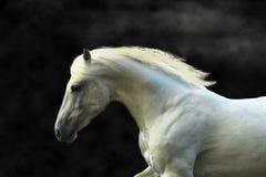 Portret biały galopujący koń na czarnym tle Obraz Royalty Free