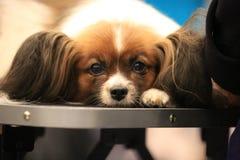 Portret biały i brown doggy rosjanin zabawki trakenu zakończenie up obraz royalty free