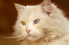 Portret biały kot z jeden niebieskim okiem i jeden zielonym okiem Zdjęcia Royalty Free