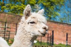 Portret biały lama w Heaton parku fotografia royalty free