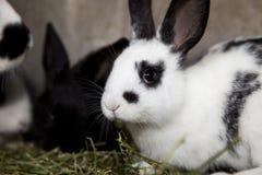 Portret Biały królik z czarnymi czerni plamami i ucho Fotografia Royalty Free