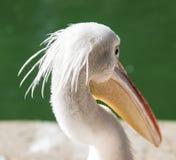 Portret biały pelikan na stawie Zdjęcia Stock