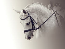 Portret biały koń Fotografia Stock