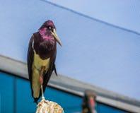 Portret biel bellied bocianową pozycję na słupie, błyszczący czarni piórka z purpury łuną, tropikalny ptasi specie od Afryka fotografia royalty free