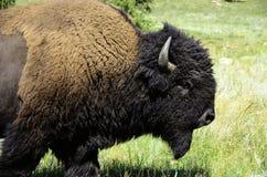 Portret bizon Zdjęcia Stock
