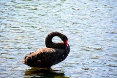 A portret of a black swan Cygnus atratus, a large waterbird, a species of swan which breeds mainly in the southeast and southwes stock images