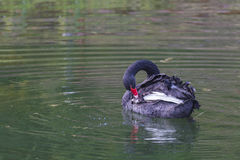 Portret of black swan. Royalty Free Stock Photo