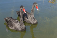Portret of black swan. Royalty Free Stock Photography