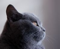Portrait of British Blue Cat. This is a Portrait of my British Blue Cat (Barbi Stock Images