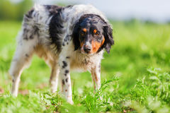 Portret Brittany pies na polu Fotografia Royalty Free