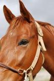 Portret Brown Biegowy koń Zdjęcie Royalty Free
