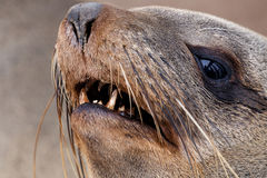 Portret Brown futerkowa foka - denni lwy w Namibia Zdjęcia Stock