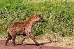Portret brown hiena na zielonym tle Ngorongoro, Tanzania zdjęcia stock