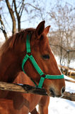 Portret of brown  horse Royalty Free Stock Photos