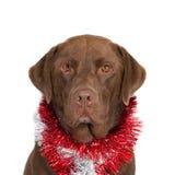 Portret brown labrador z Bożenarodzeniowymi girlandami Zdjęcia Royalty Free