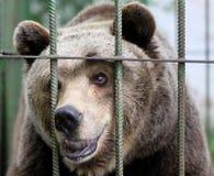 Portret brown niedźwiedź Fotografia Royalty Free