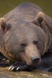 Portret Brown niedźwiedź w Bawarskim lesie Fotografia Royalty Free