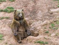 Portret brown niedźwiedzia park w Hiszpania Zdjęcia Stock