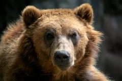 Portret brown niedźwiedzia Ursus arctos beringianus zdjęcia stock