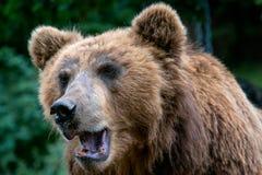 Portret brown niedźwiedzia Ursus arctos beringianus obraz royalty free