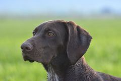 Portret brown Niemiecki shorthaired pointer obraz royalty free