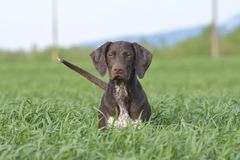 Portret brown Niemiecki shorthaired pointer obrazy stock