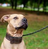 Portret bruine Amerikaanse kuil bull terrier stock afbeelding