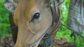 Portret bruine koe met zweetdalingen op neus die aan camera kijkt Sluit omhoog rood koehoofd op landelijke landbouwbedrijfachterg stock video