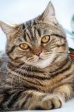 Portret Brytyjski kota zakończenie up Thoroughbred kot zdjęcie stock