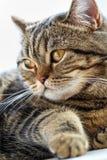 Portret Brytyjski kota zakończenie up Thoroughbred kot fotografia stock