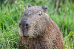 Portret of a capybara in the swamp of Esteros del Ibera Stock Photos